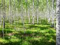 Morning in Jun birch forest - THIS DAURIA