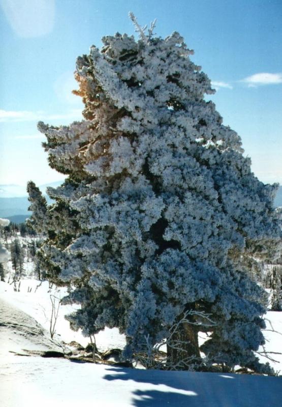Кедр зимой картинки