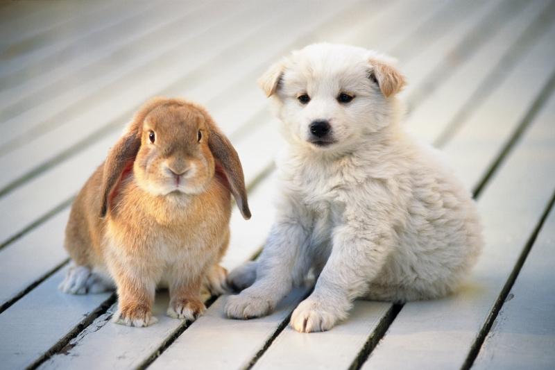Обои Белый щенок сидит рядом с кроликом.
