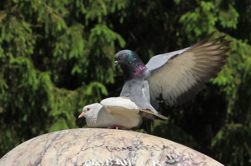 бесплатный секс голубей