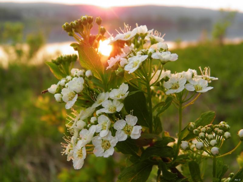 Сибирские цветы