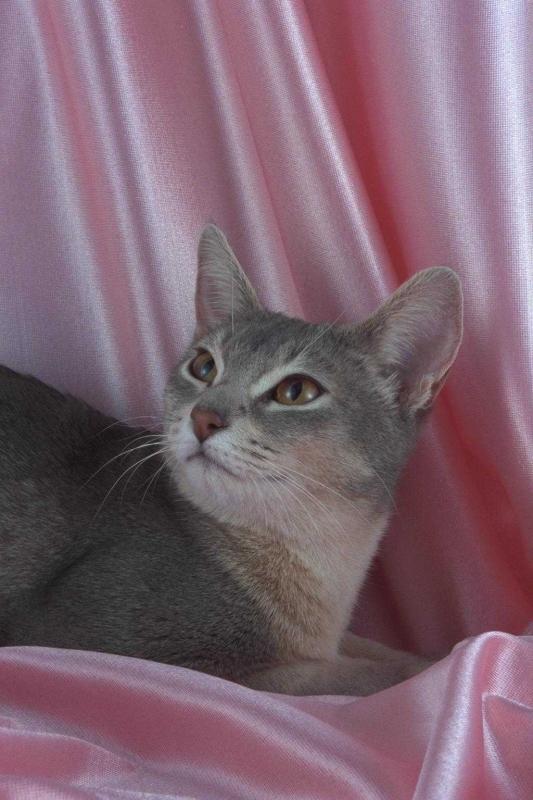 Картинки абиссинская кошка 4