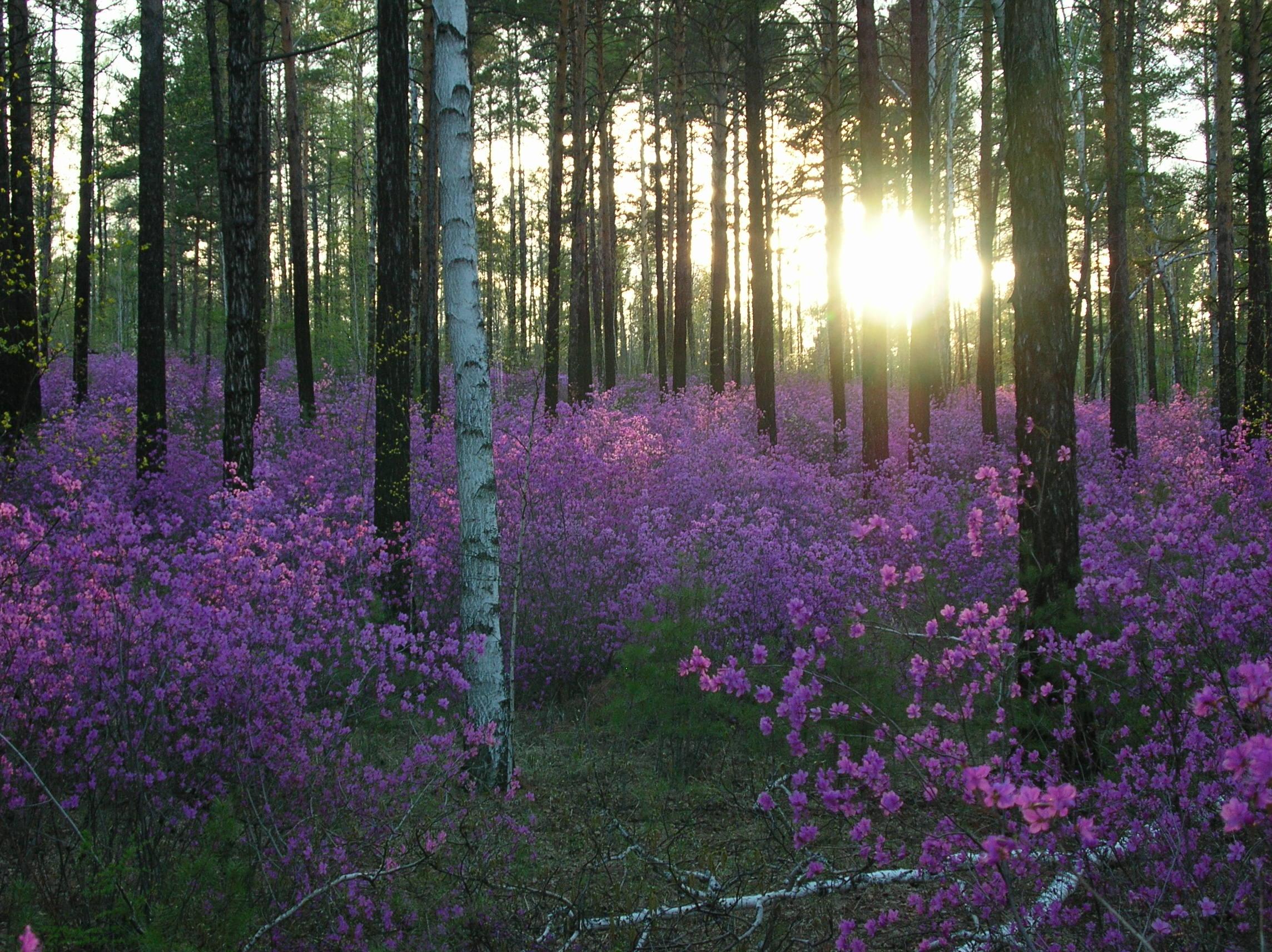 Багульник вечер лес фото