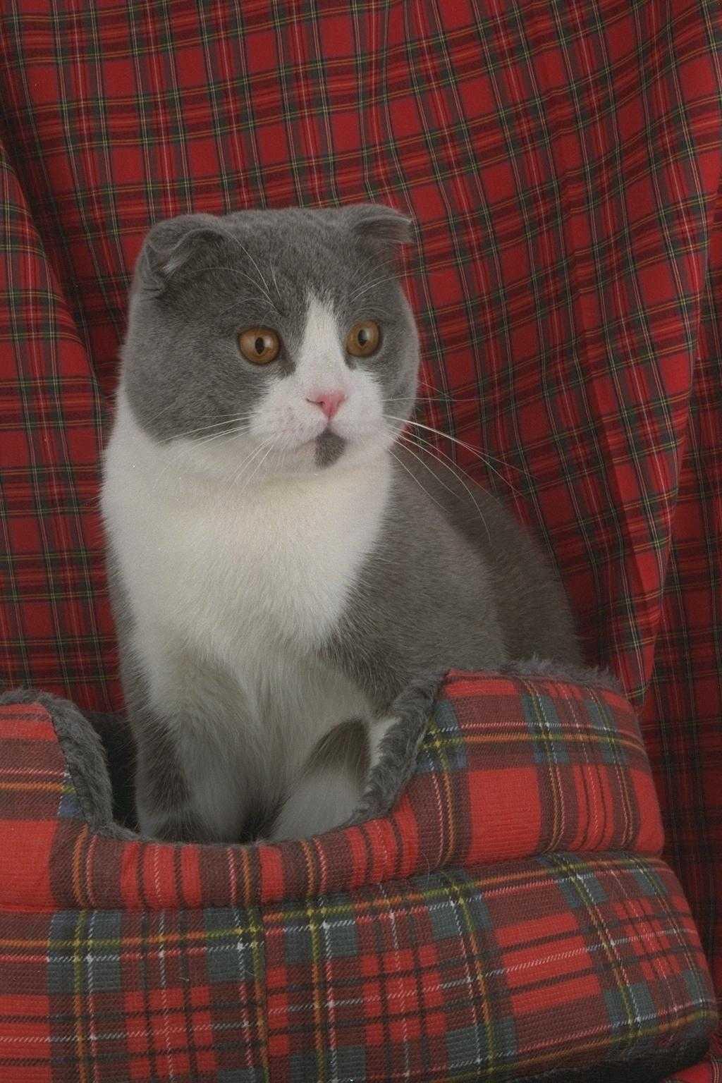 Британская короткошерстная кошка  описание породы фото