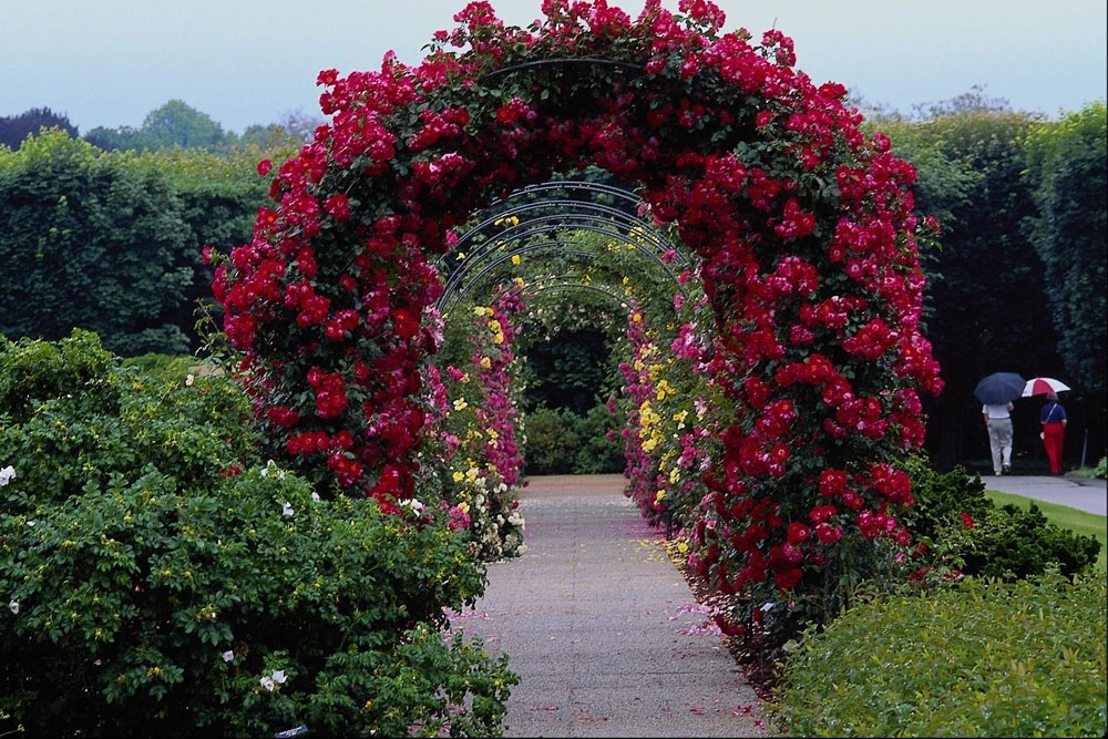 Sympathie роза плетистая 3