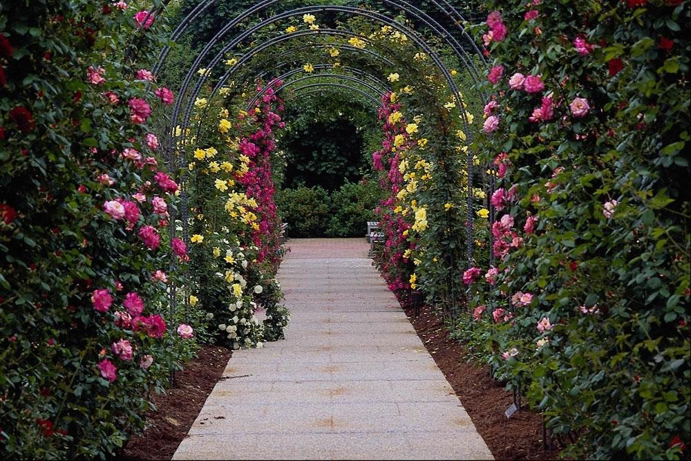 Плетистая роза клайминг пис 5