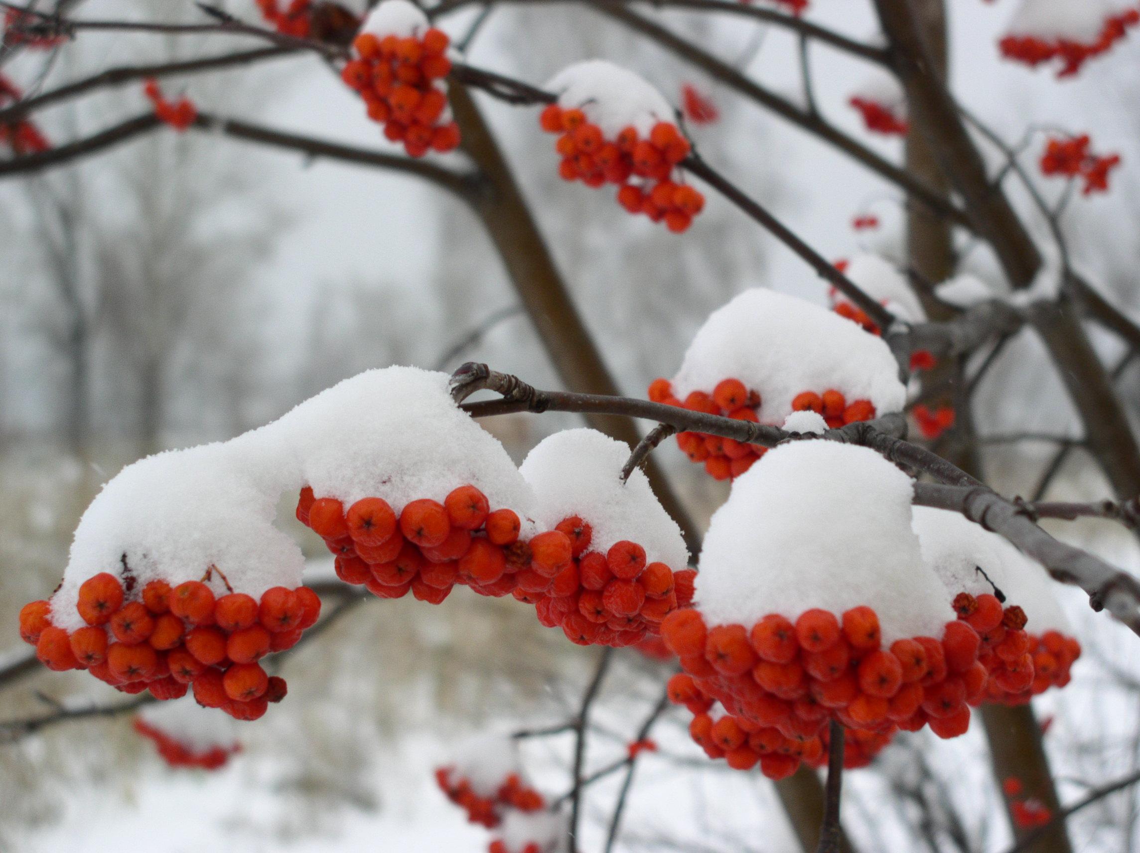 зима рябина
