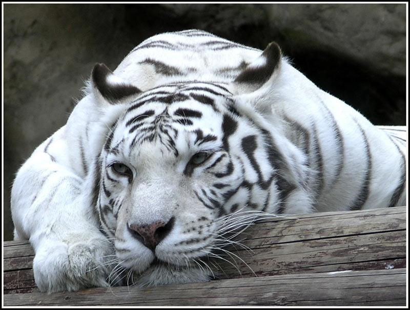 Грядущий 2010 год - год белого тигра Древняя легенда гласит, что давным-давно Буйвол в отчаянной схватке одержал...