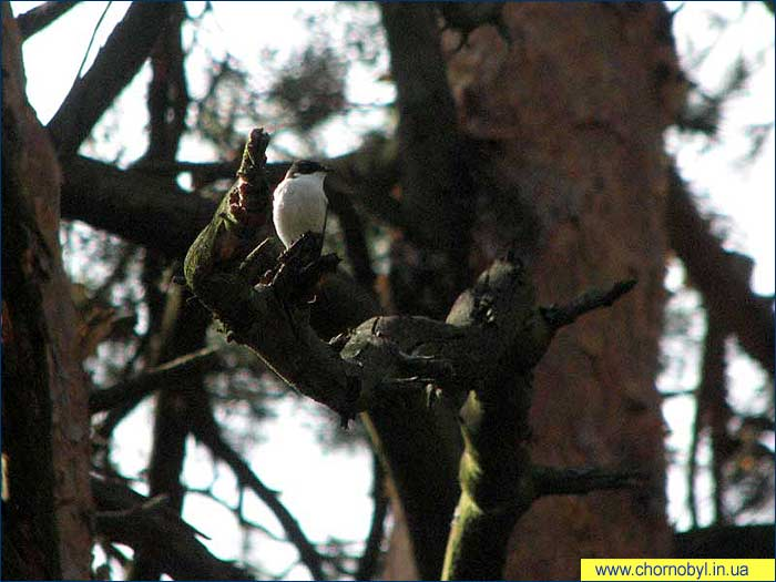 ...экспериментов в Рыжем лесу.  Данный вид является наиболее распространенным для даных типов.