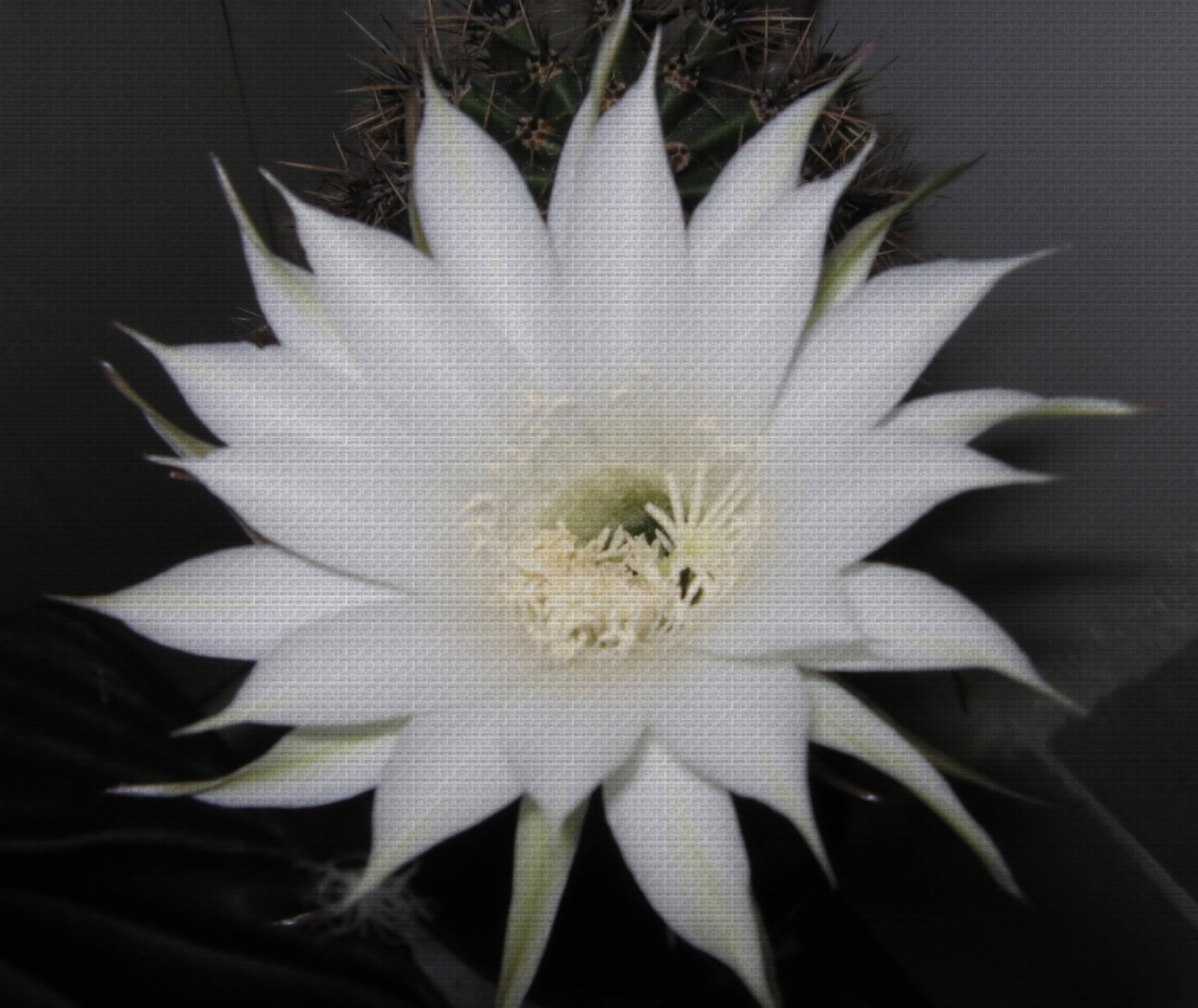 Как цветет кактус фото