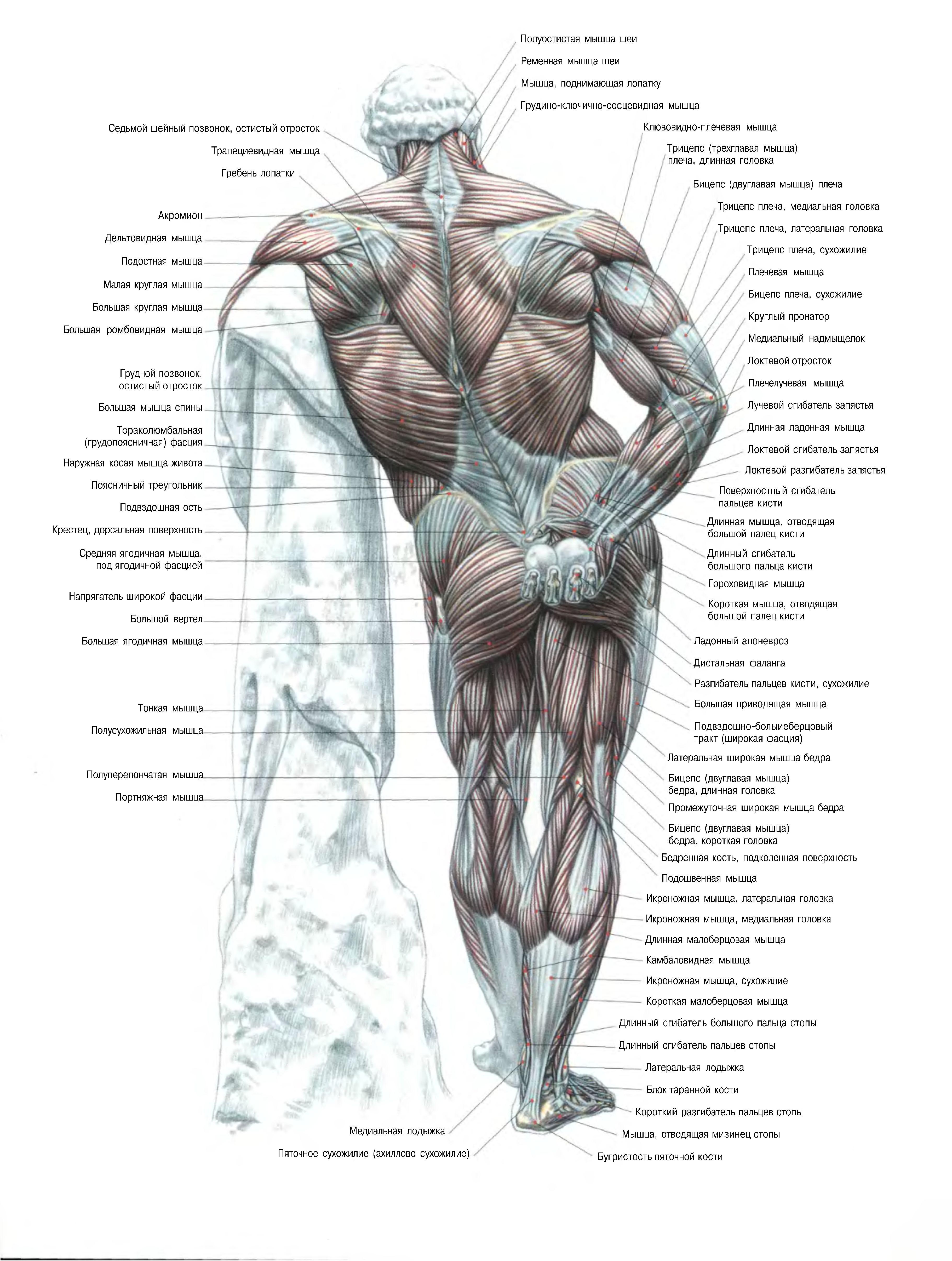 Программа для изучения анатомии человека скачать