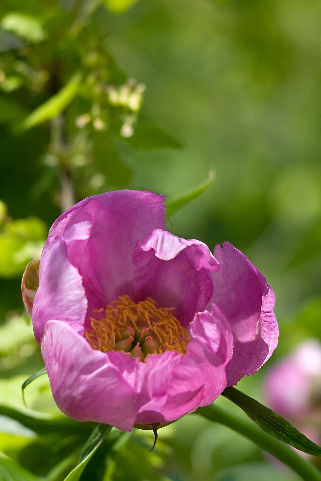 Марий корень цветок фото