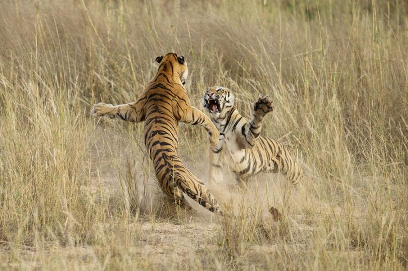 """""""Игривая драка молодых тигров"""". Автор: Арчна Сингх (Archna Singh)"""